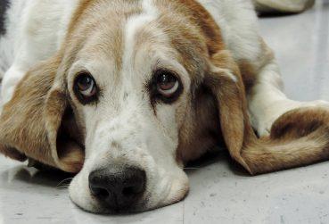 Can Senior Dogs Get Dementia?