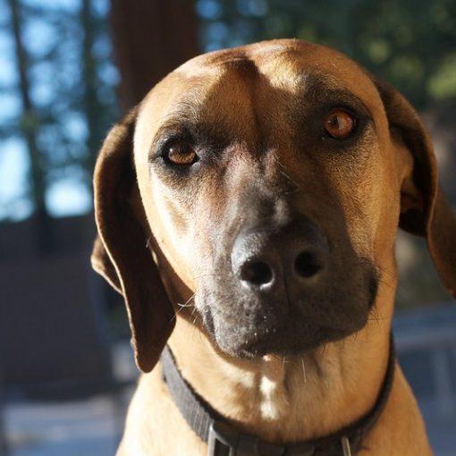 brown dog staring