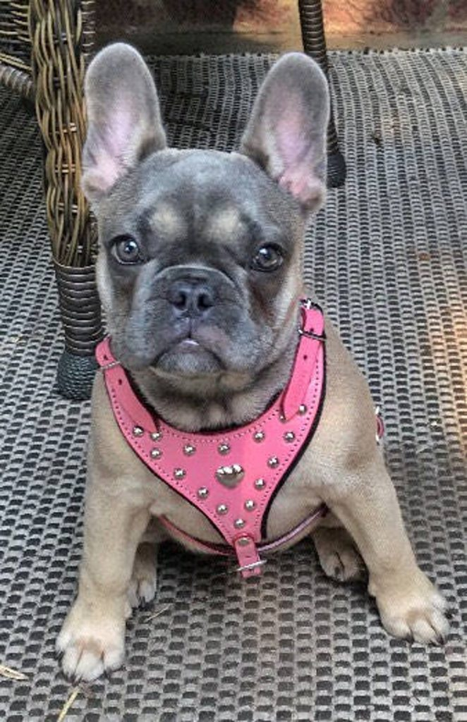 pink leather harness