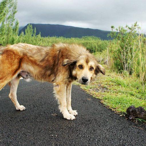 old tan dog